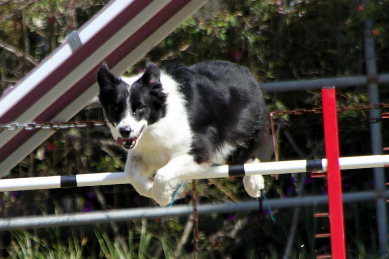 Daisy jumps like a steeplechaser.<br /> 9/14/09