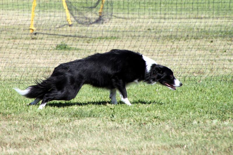 Striker at the starting line.<br /> Bonita NADAC Trial<br /> Saturday, 10/03/09
