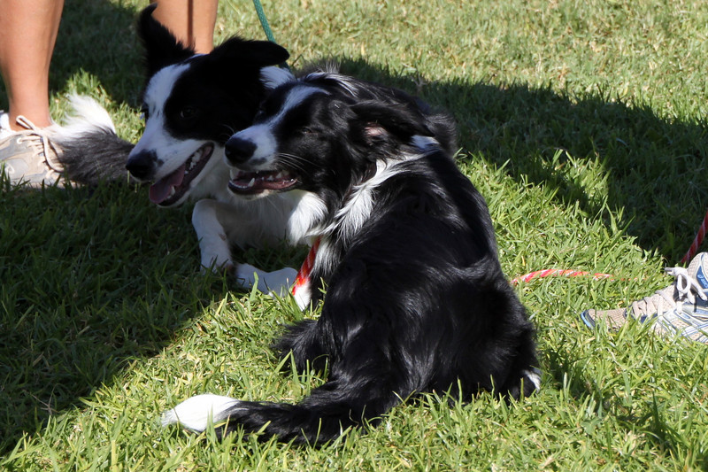 Hanging with her litter-mate.<br /> Bonita NADAC Trial<br /> Saturday, 10/03/09