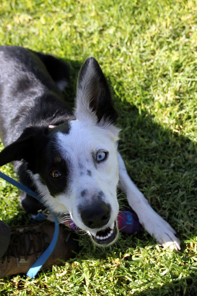 Gimpy Juno's on the sidelines today.<br /> Bonita NADAC Trial<br /> Saturday, 10/03/09