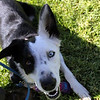 Gimpy Juno's on the sidelines today.<br /> Bonita NADAC Trial<br /> Saturday, 10/03/09