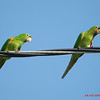 Lindos e barulhentos papagainhos em frente de casa...