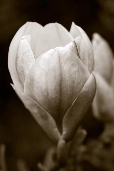 Grand Magnolia