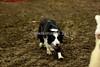 LI2_0009Stock Dogs_ 2nd Round