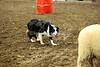 LI2_0008Stock Dogs_ 2nd Round