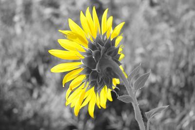 Sunflower Pop