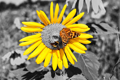 Sunflower Butterfly & Bee