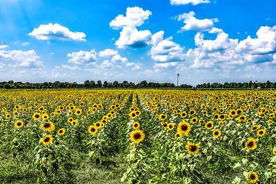 Sunflowers Attention