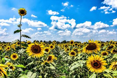 Sunflower Standing Tall