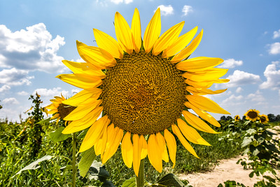 Sunflower Happy