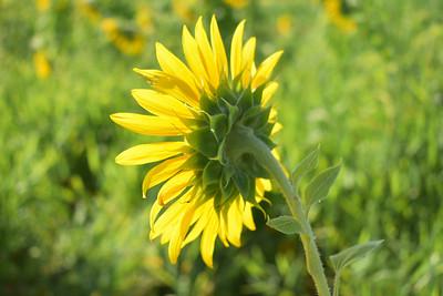 Sunflower Feels