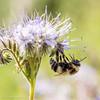 Polinización realizada por un abejorro