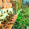 Colonia de abejas (imagen de recurso)