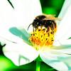 Polinización realizada por un abejorro (imagen de recurso)