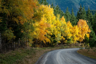 A forestry road curves through a multi coloured Hanmer forest in autumn.