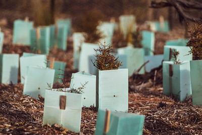 Newly planted native plants in Tekapo Regional Park
