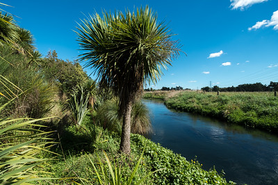 Riparian plants, harakeke, haumata, toetoe alongside a stream in Halswell.