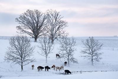 Cattle in Fresh Snow