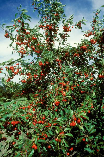 Ripe Cherry Tree in Cherry Grove, Brigham City, Utah