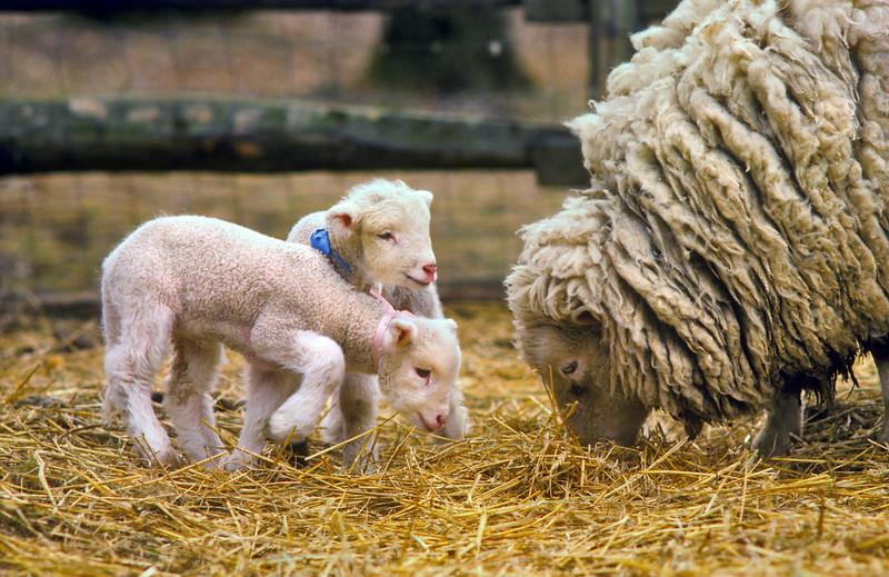 Finnsheep Ewe & Lambs