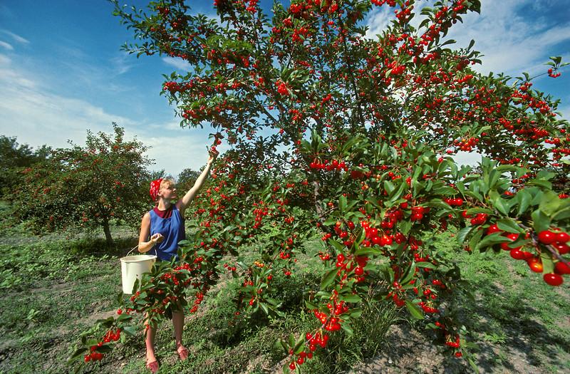 Picking Sour Pie Cherries, Utah<br /> Released: Bodil