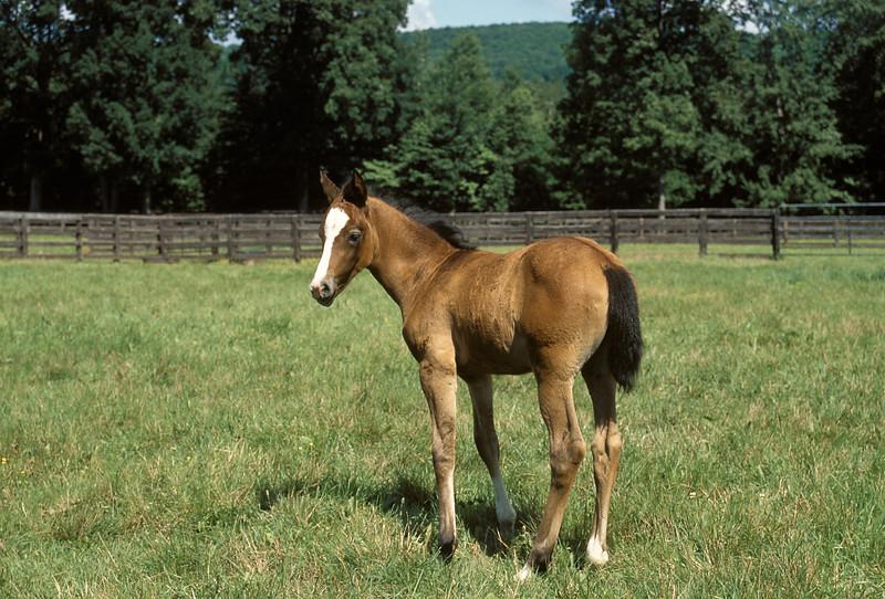 American Standard Foal, horse, equestrian, farm, livestock<br /> ER Degginger
