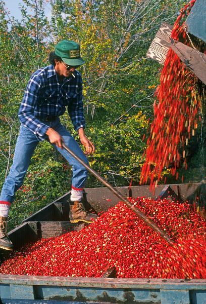 Cranberry Harvest, Southern New Jersey