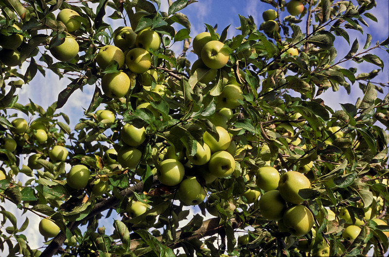 Apple Orchard, Golden Delicious Apples