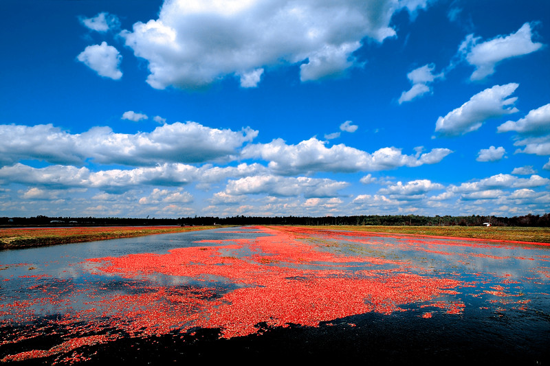 Cranberry Fields ready for Harvest, South New Jersey