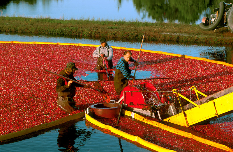 Cranberry Bogs, Released T. Darlington, New Jersey