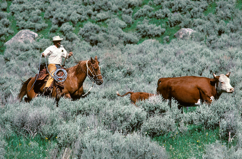 Cowboy & Hereford, Wyoming, agriculture, livestock, cow, horse, rider, herding<br /> Phil Degginger