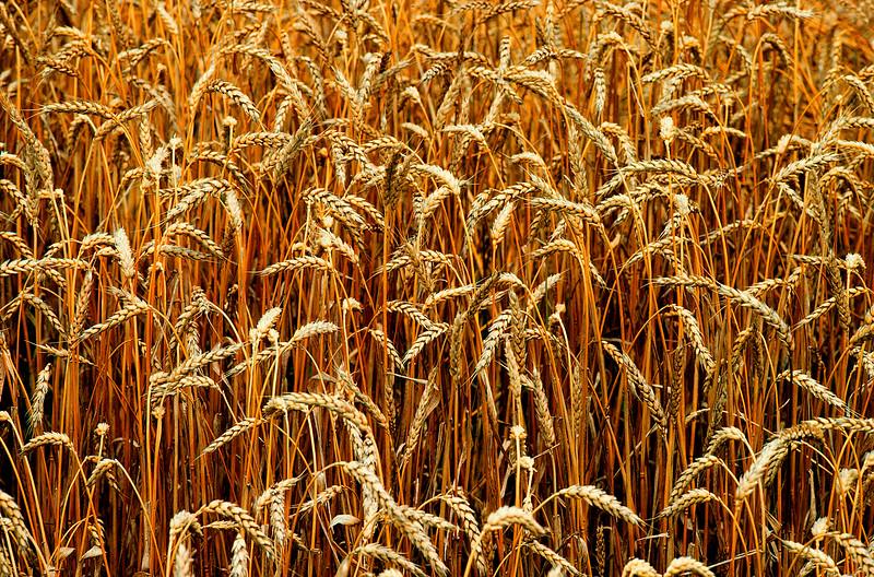 Kansas Wheat Field, Ready for Harvest<br /> grain, farming