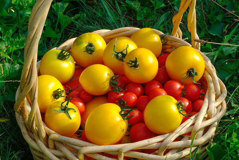 Basket of Tomatoes, Cherry Tomatoes, Golden Boy Tomatoes, produce, agriculture, food<br /> Phil Degginger