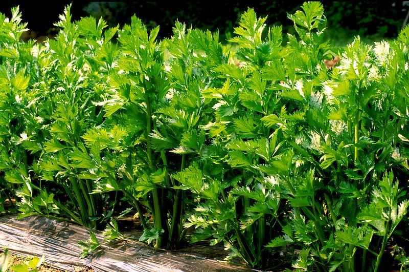 Celery Plants,