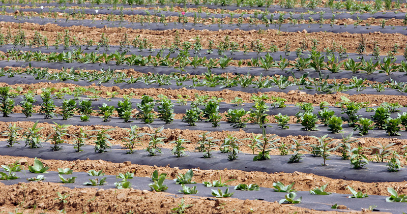 Crops Grown with Weed Barrier