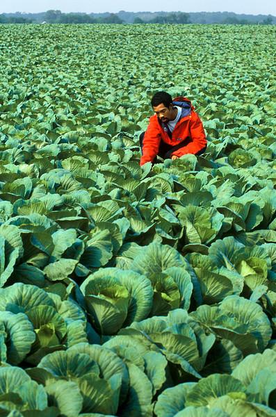 Cabbage Farmer, New Jersey, Agriculture<br /> Released: Derek (no problem)<br /> Phil Degginger