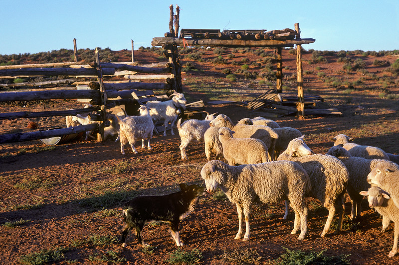 Cutting Dog & Sheep Herd, Monument Valley, Northern Arizona