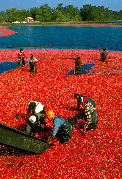 Cranberry Pickers, Harvest, Migrant Labor, Southern New Jersey