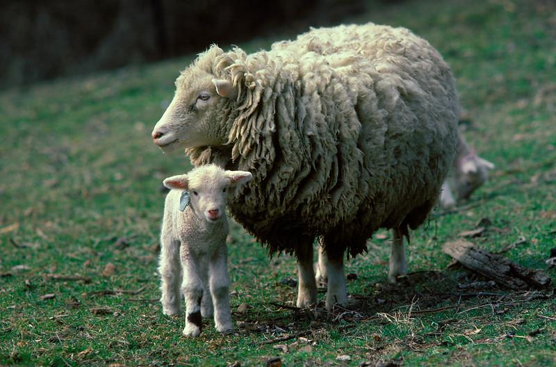 Ewe Sheep & Lamb, livestock, farm animals, farming, wool<br /> Phil Degginger