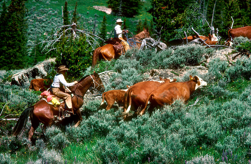 Cattle Drive, Big Horn Mts. Wyoming, cows, cowboys, pasture, livestock, agriculture<br /> Phil Degginger