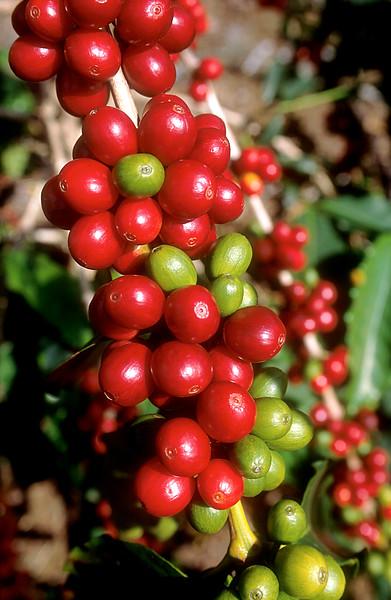 Ripe Coffee Beans (Cherry)<br /> Big Island of Hawaii