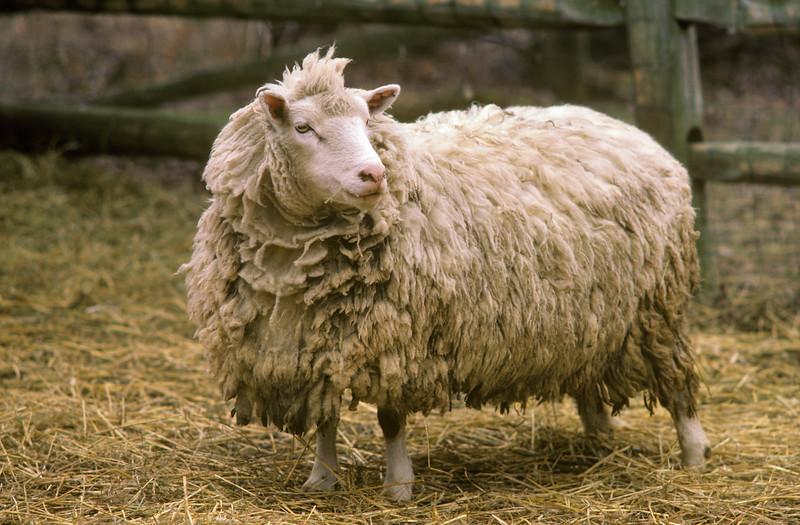 Finnsheep Ready to be sheared