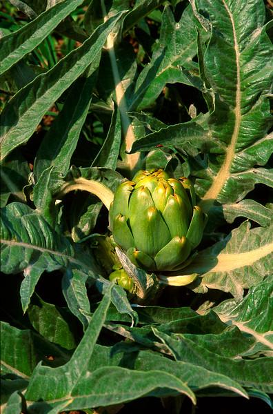 Artichoke, Garden, Produce, New Jersey, NJ, crops, agriculture<br /> Phil Degginger