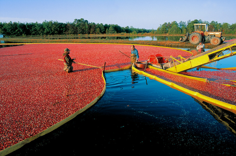Cranberry Harvest, Southern New Jersey<br /> Released: Darlington