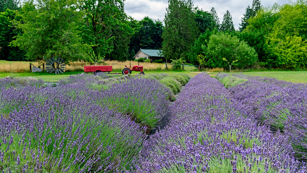 Evergreen Valley Lavender Farm, Olympia Washington