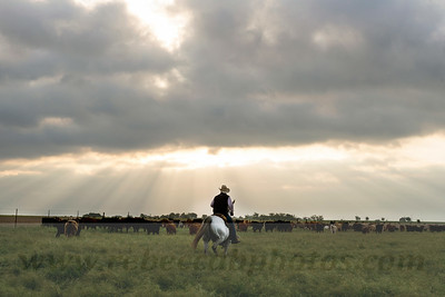 Professional Agriculture and Ranch Photography, Cowboy at sunrise herding cattle in Schwertner, Texas