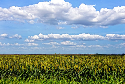Sorghum Field in Hutto, Texas