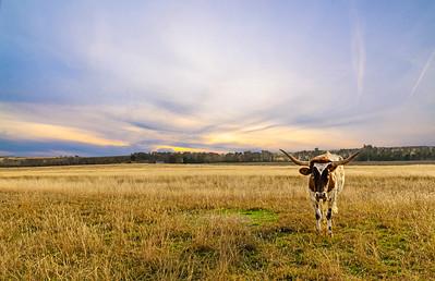 Longhorn, Walburg, Texas
