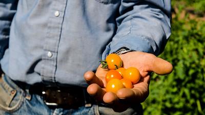 Gardener holding organic tomatoes in Austin, Texas