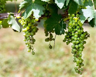 Grapes on the vine in Dripping Springs, Texas